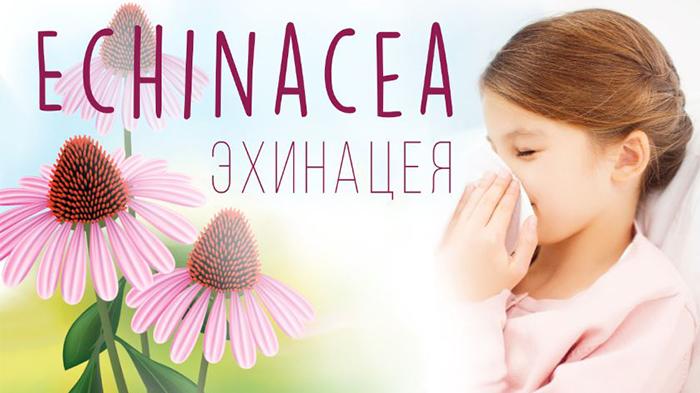 Эхинацея для иммунитета