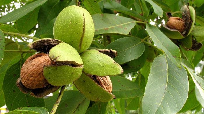 Черный орех применение от паразитов, грибка и другие полезные свойства
