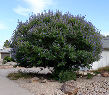 Витекс священный, или Витекс обыкновенный, или Авраамово дерево.