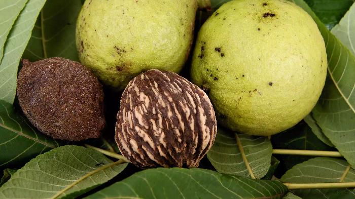 Черный орех: применение от паразитов, грибка и другие полезные свойства