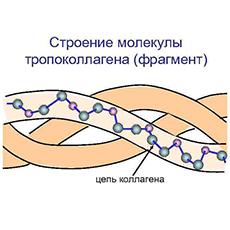 Строение молекулы коллагена